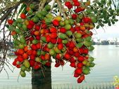 Fruit of a tropical tree, Vietnam — Stock Photo