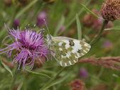 Field butterfly — Stock Photo