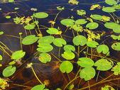água branca-lírio — Foto Stock