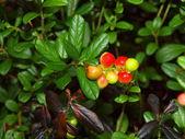 Bacche di bosco un cowberry — Foto Stock
