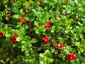 Forest berry a cowberry — Stock Photo