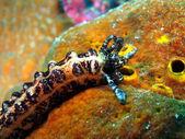 Sea cucumber — Stock Photo