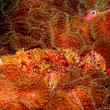 Stock Photo: Scorpionfish