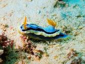 Sea slug — Foto de Stock