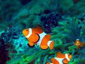 рыба-клоун — Стоковое фото