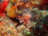 Scorpionfish — Stock Photo