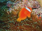 Fish-clown — Foto Stock