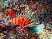 Scorpionfish — Foto Stock