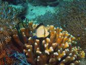 Coral fish — Stock Photo