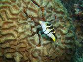 Boxfish — Foto de Stock