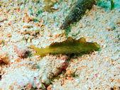 Lumaca di mare — Foto Stock