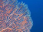 Gorgone coral — Stock Photo