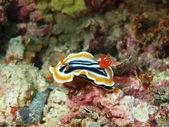 Sea slug — Stock Photo
