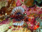 Scorpionfish — Zdjęcie stockowe