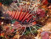 Scorpionfish — Stock fotografie