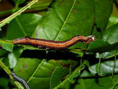 Caterpillar of the tropical butterfly — Stock Photo