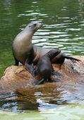 Seal family — Stock Photo