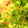 Colorado beetle pest potatoes — Stock Photo #12197626