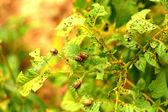 Colorado beetle pest potatoes — Stock Photo