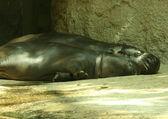 Sleeping baby hippos — Stock Photo