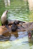 Seals enjoying the sun — Stock Photo