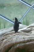 Penguin thumbing a lift — Stock Photo
