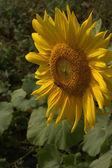 Young sunflower golden flowers black yellow night Halloween sadness separation — Stock Photo