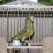 Greenfinch in cage — Stock Photo