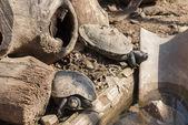 Tortugas tomando el sol — Foto de Stock