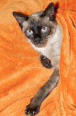 Cat covered with a blanket — Stock Photo