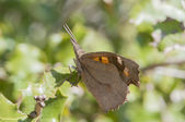 Brown butterfly — Foto Stock