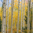 Autumn Aspen Forest — Stock Photo