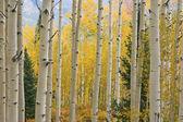 秋天的阿斯彭森林 — 图库照片