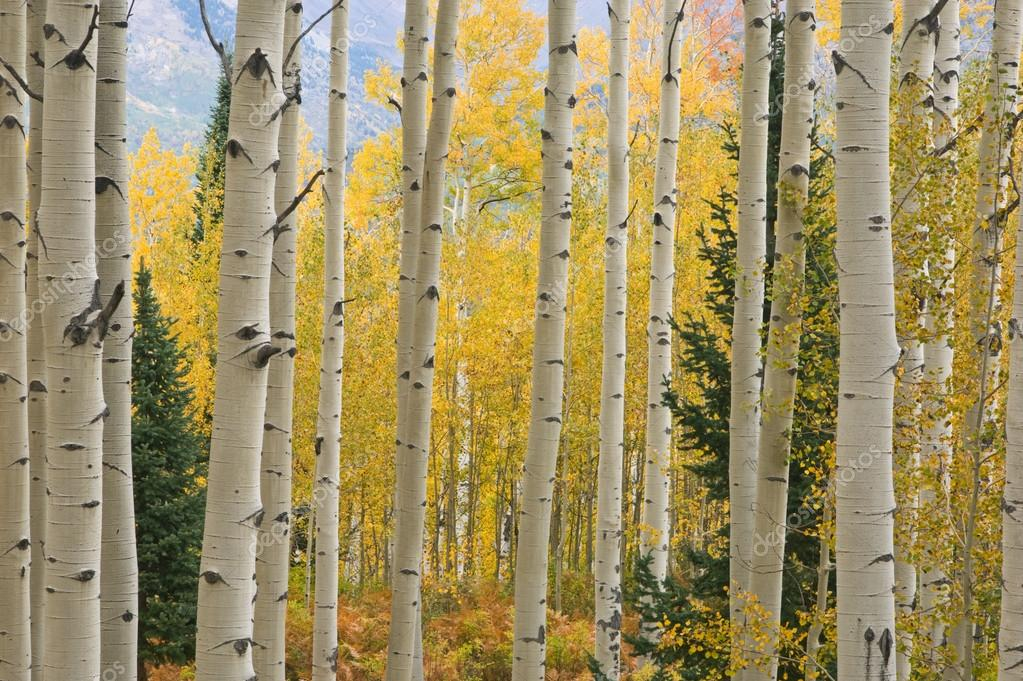 Autumn aspen forest Elk Mountains, Colorado, USA  — Stock Photo #12164885