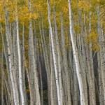 Autumn Aspen Forest — Stock Photo #12172294