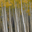 Autumn Aspen Forest — Stock Photo #12172294