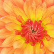 Orange and Red Dahlia — Stock Photo