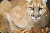 Mountain Lion Portrait — Stock Photo