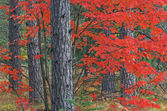 Autumn Maple and Pines — Stock Photo