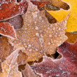 Stock Photo: Frosted Autumn Maple Leaves