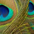 Peacock Feathers — Stock Photo #12246053
