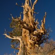 Stock Photo: Bristlecone Pine