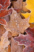 Frosted Autumn Maple Leaves — Stock Photo
