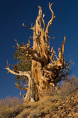 Bristlecone Pine — Stock Photo