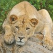 Stock Photo: Lioness Portrait