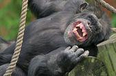 Laughing Chimpanzee — Stock Photo