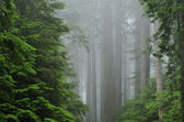 Redwood Forest in Fog — Stock Photo