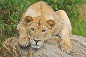 Lioness Portrait — Stock Photo
