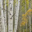 Stock Photo: Autumn Aspen Forest
