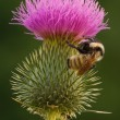 Stock Photo: Bee on Thistle